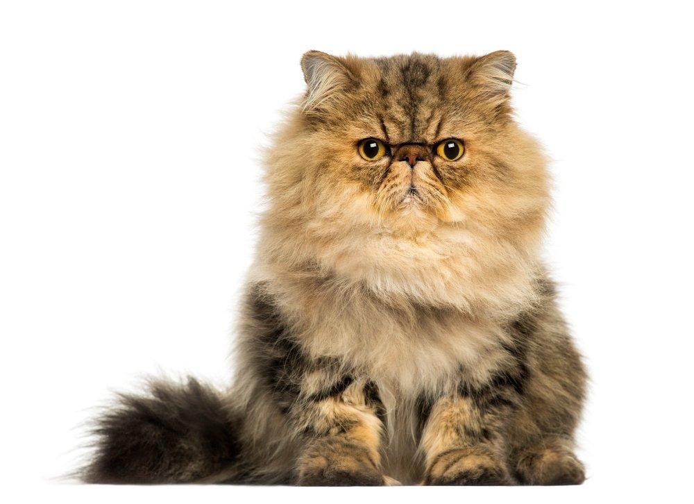 חתול פרסי