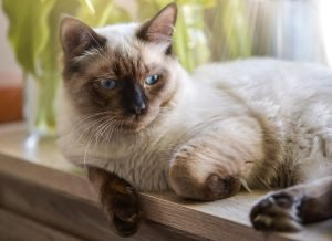 חתול רגדול