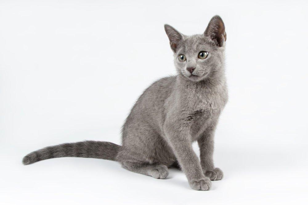 חתול רוסי כחול