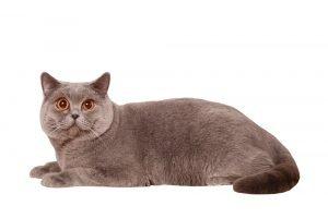 חתול בריטי קצר שיער